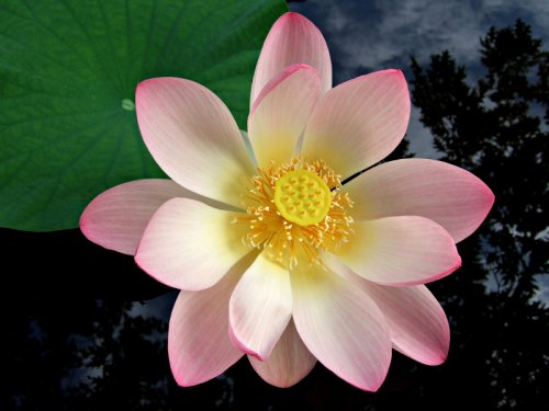 White lotus flower with pink trim