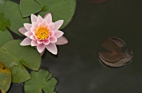 Pink water lily in a pond