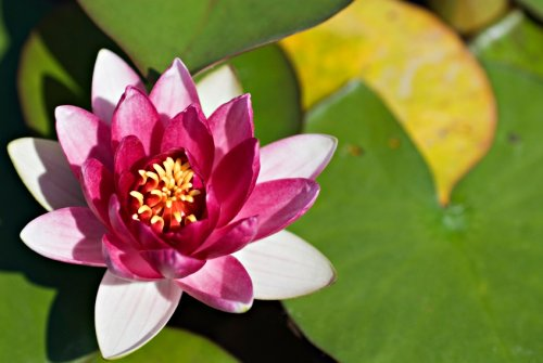 Purple and yellow water lily