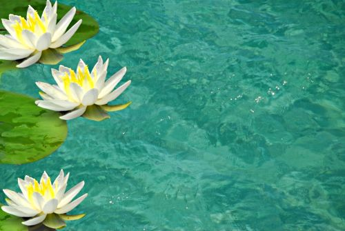 White and yellow water lilies on a blue pond